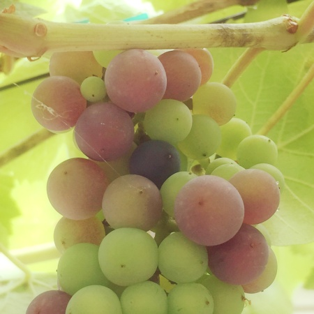 Grapes turning color