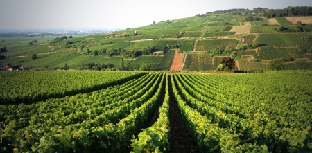 Vine rows in vineyard in Pommard
